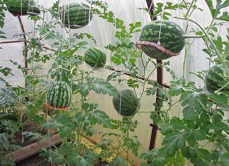 выращивание арбузов в теплице